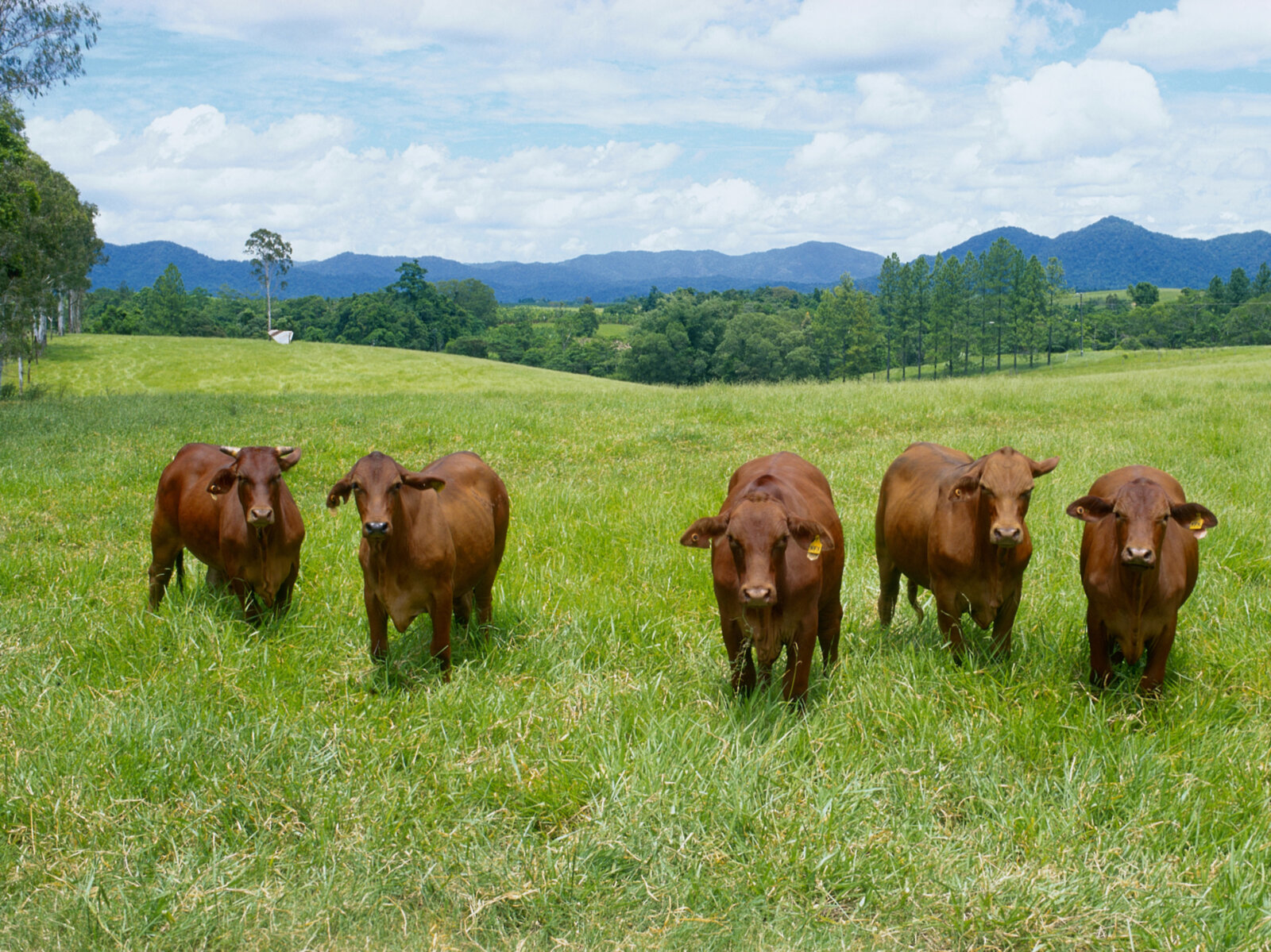 Cattle Grazing in Queensland, Australia