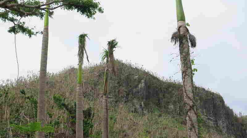 Post-María, A Key Ecosystem In Puerto Rico Faces Slow Recovery