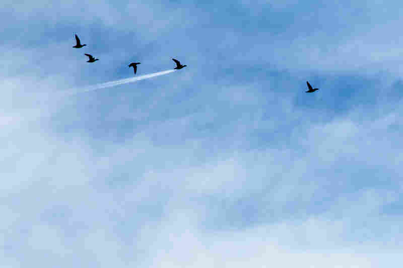 A bunch of wigeon pictured flying, but one was seen flying exactly in front of a high airline plane in Preston, England.