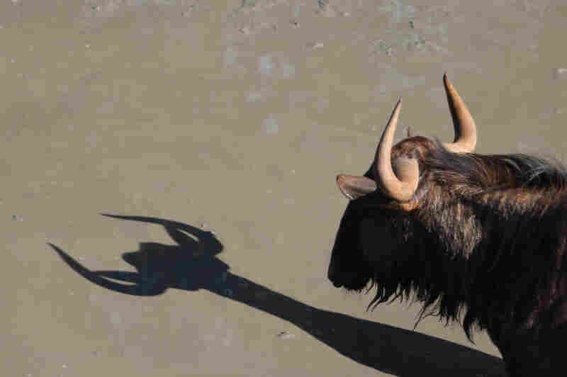 Looks like the diet worked! A gnu and its shadow at the watering hole in the Mkhuze game reserve in South Africa.