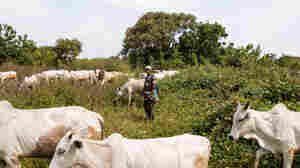 Why It's Now A Crime To Let Cattle Graze Freely In 2 Nigerian States