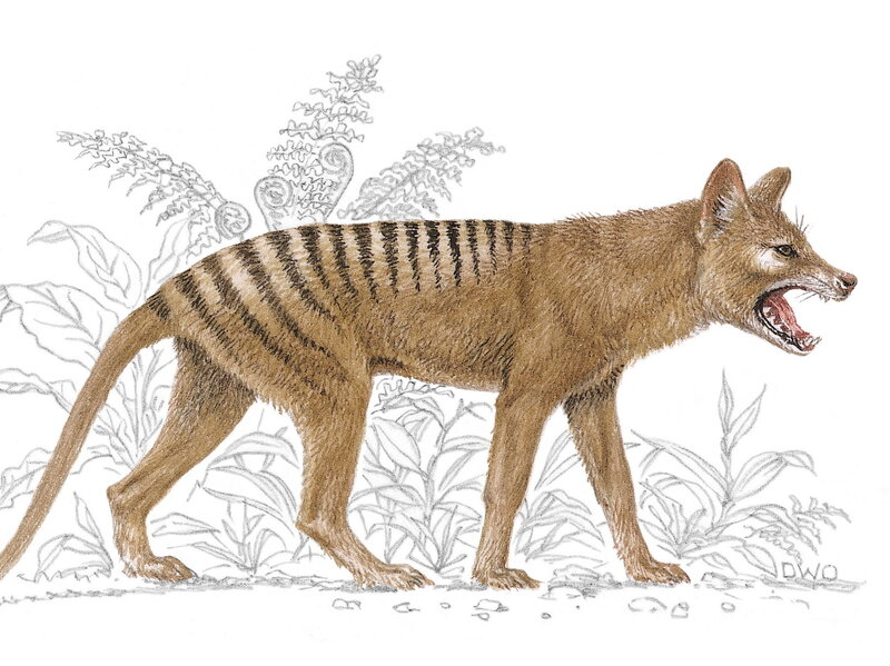 lack of genetic diversity may have doomed tasmanian tiger
