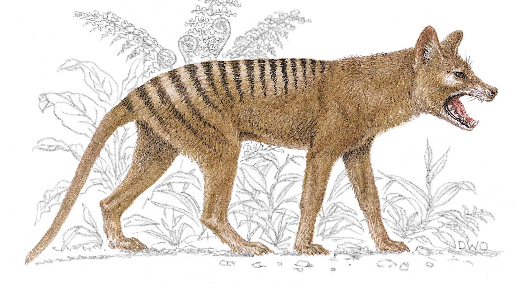 Lack Of Genetic Diversity May Have Doomed Tasmanian Tiger Scientists Say