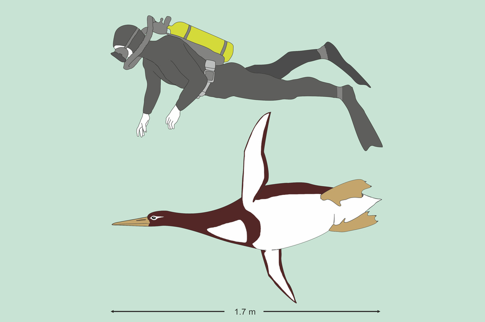 An illustration comparing the giant penguin to an average person. <em>Kumimanu biceae</em> weighed about 220 pounds and was a bit shorter than 6 feet in height. It swam around off the coast of New Zealand between 55 and 60 million years ago. (Gerald Mayr)
