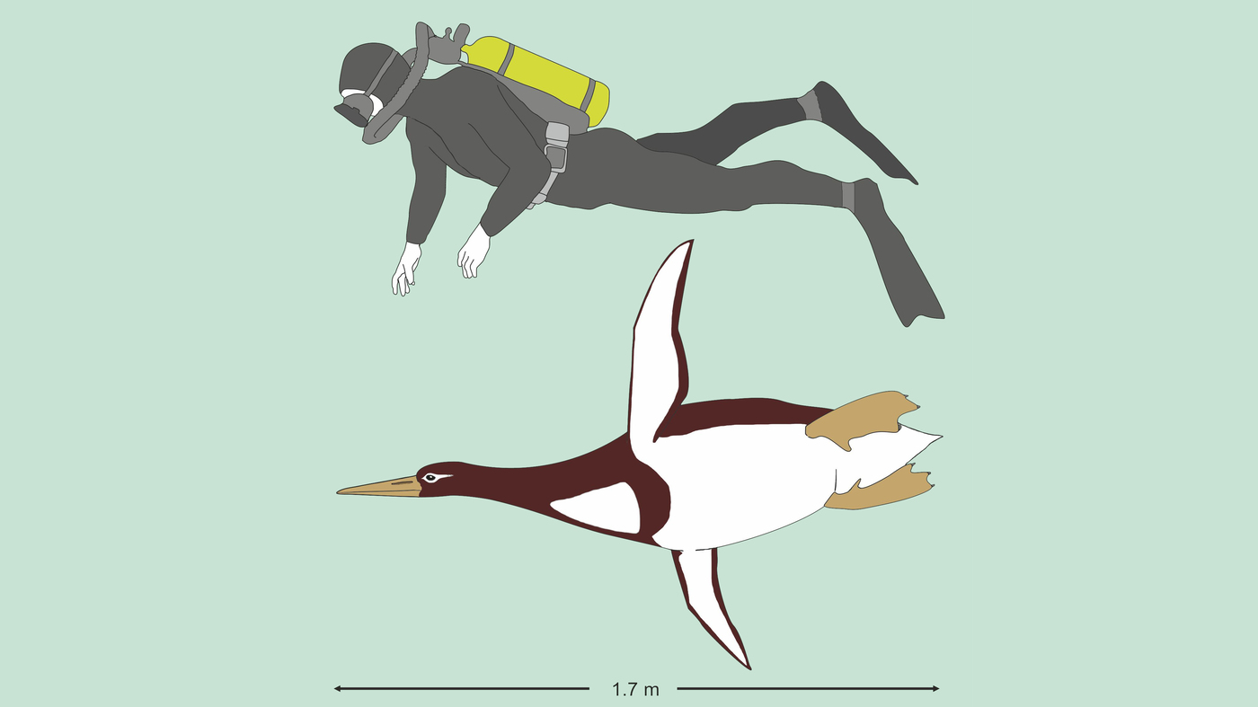 Giant Prehistoric Penguins Once Swam Off The Coast Of New Zealand ...