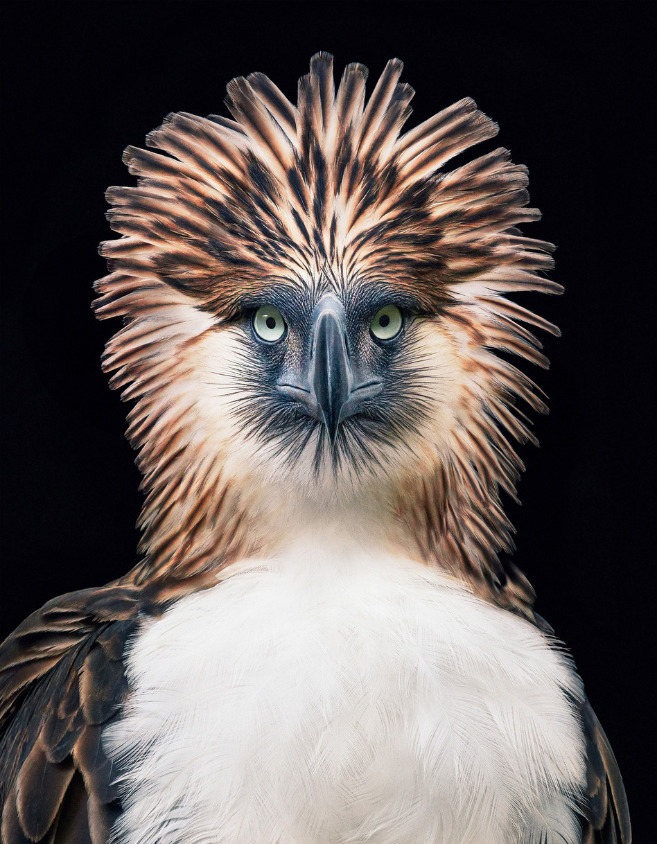 The Philippine eagle <em>Pithecophaga jefferyi</em> faces extinction from mining, pollution and poaching. Photographer Tim Flach used black backgrounds to create intimate portraits for his book. (Tim Flach)