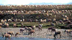 Arctic National Wildlife Refuge Battle Ends, But Drilling Not A Given