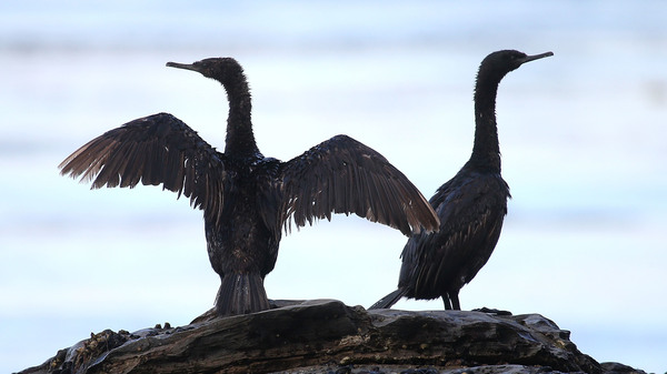 Two birds covered in oil sit on a rock near Refugio State Beach in Goleta, Calif., in 2015 after an oil spill from an abandoned pipeline spread over the beach. The Department of the Interior says it will no longer criminally prosecute energy companies that kill birds accidentally.