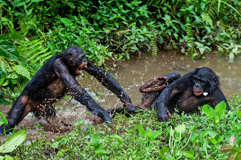 Bonobos Prefer Bullies Over Helpers Unlike Human Babies Shots
