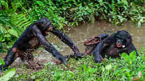 Unlike Humans, Bonobos Shun Helpers And Befriend The Bullies