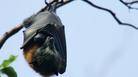 Hundreds of flying fox bats died near Sydney over the weekend from dehydration during a heat wave.