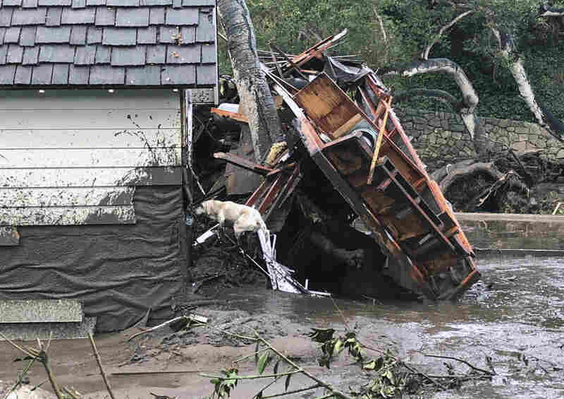 Santa Barbara County Fire search dog Reilly looks for victims in damaged and destroyed homes in Montecito.