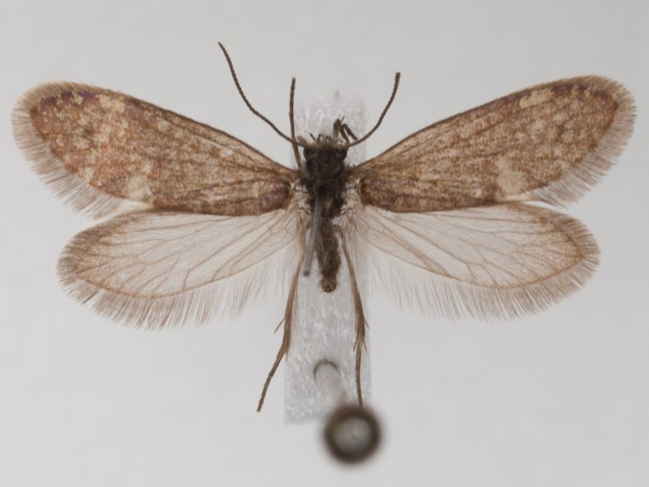 A modern moth with a proboscis, the organ adapted for sucking up fluids such as nectar. Newly discovered fossil evidence suggests ancestors of such animals exists before flowering plants, raising questions about what ancient butterflies and moths used their tongue-like appendages for.