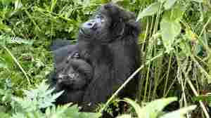 Is This Gorilla Mother Consciously Protecting Her Baby?