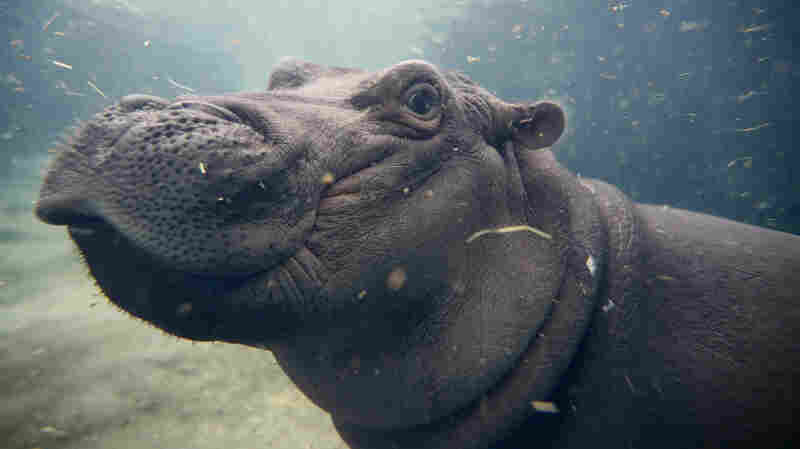 Thriving After Prematurity, Fiona The Celebrity Hippo Turns 1