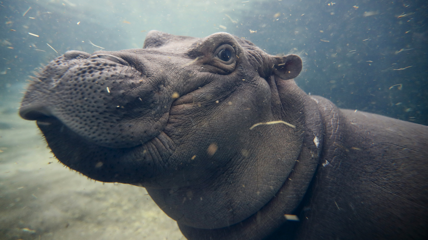 Thriving After Prematurity Fiona The Celebrity Hippo