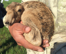A newborn saiga calf nestling in the arms of a scientist of the joint health monitoring team.