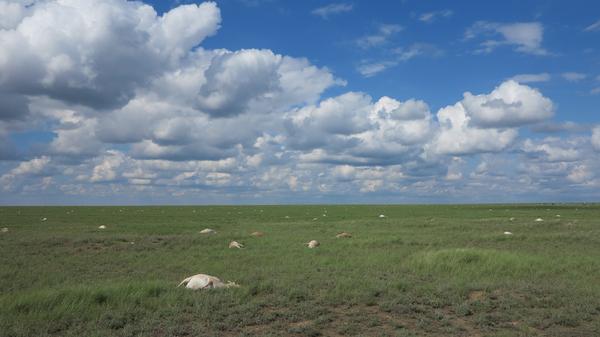 Strange Weather Triggered Bacteria That Killed 200,000 Endangered Antelope