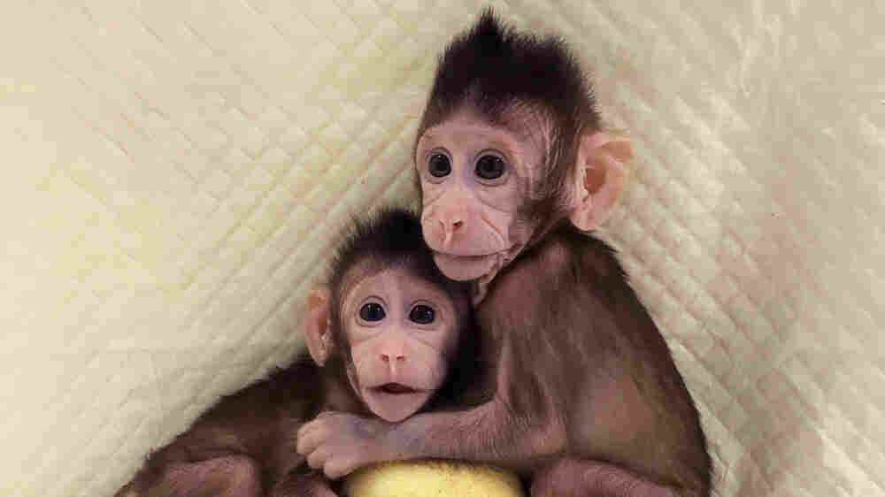 Chinese Scientists Clone Monkeys Using Method That Created Dolly The Sheep