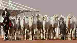 A Dozen Camels Disqualified From Saudi Beauty Pageant Over Botox Injections