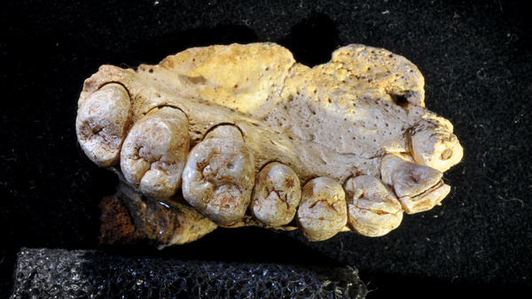 The fossil found in Misliya cave, showing details of the teeth. The details of the teeth - their shapes and sizes relative to each other — helped the scientists confirm that this belongs to Homo sapiens.