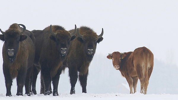 Bison expert Rafal Kowalczyk spotted the cow this week on the outskirts of Poland