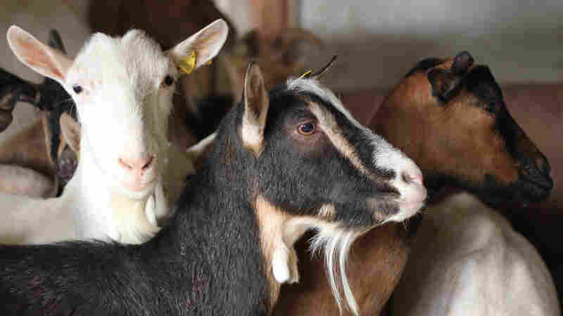 Helping Farmed Animals: High-Impact Rescue