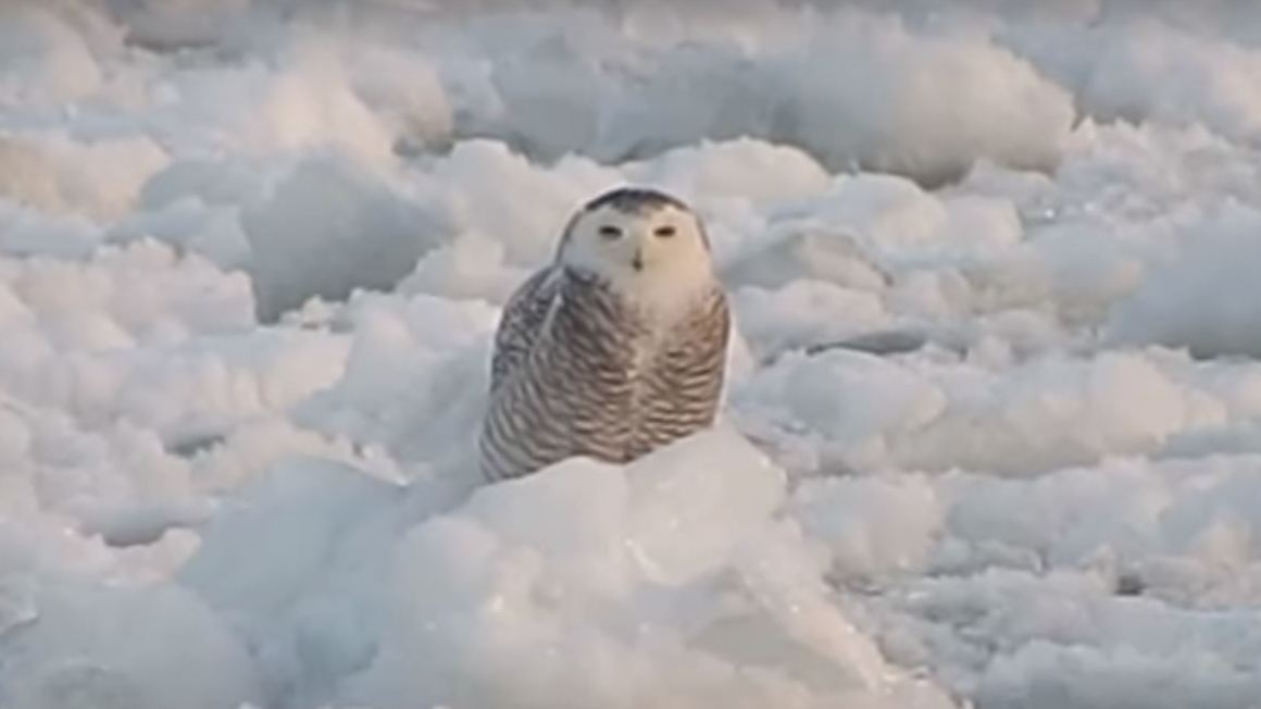 Watch Care For A Little Zen Here It Is A Snowy Owl Riding An Ice