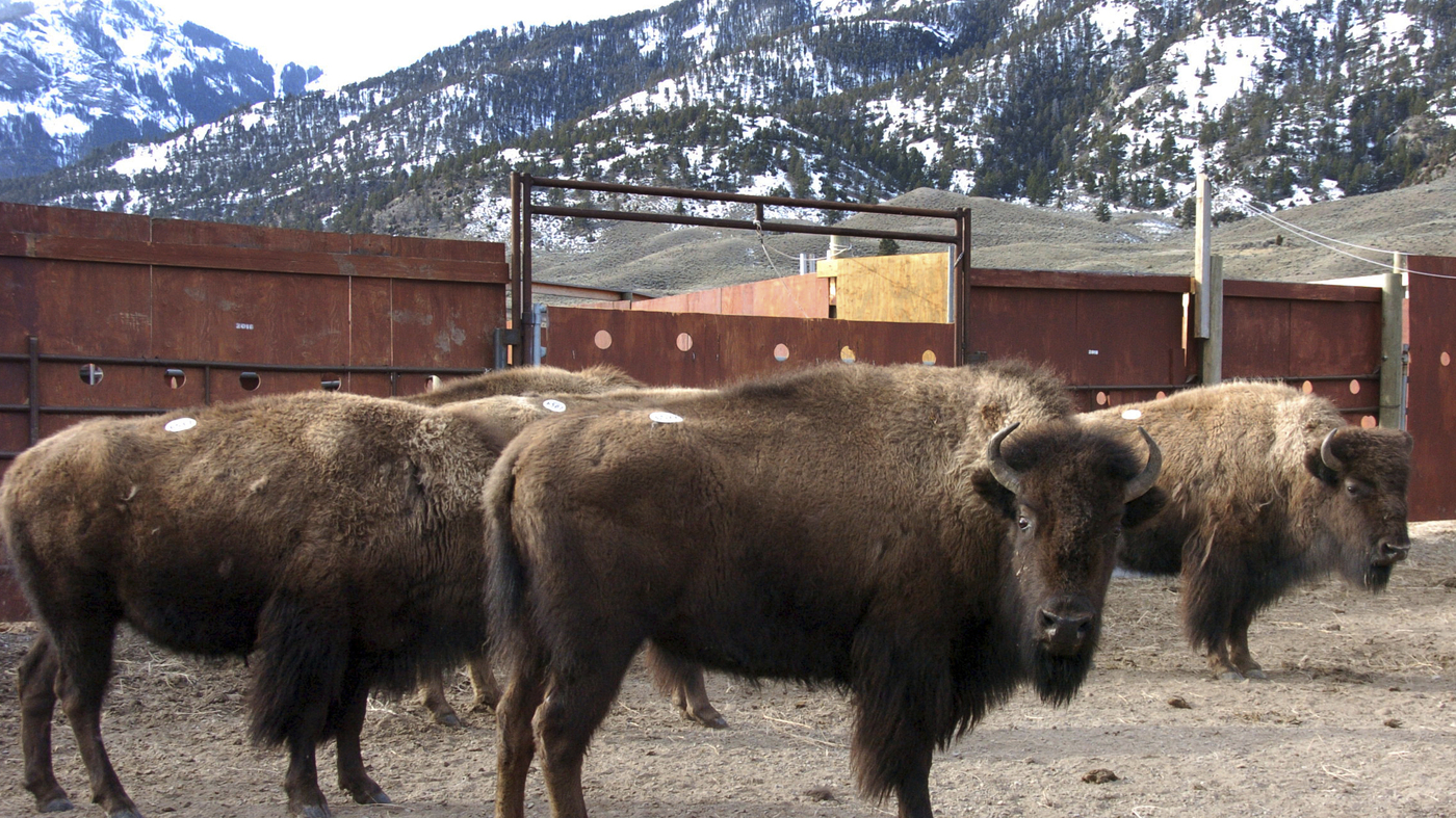 Yellowstone Bison Release Launches Criminal Investigation