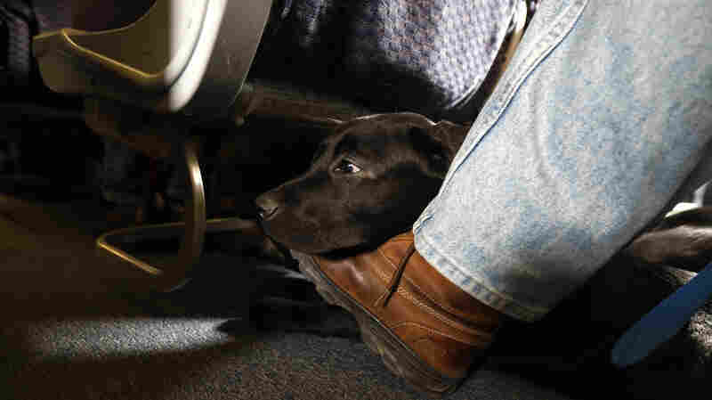 New Barking Orders For Documenting Support Animals Before Boarding Planes