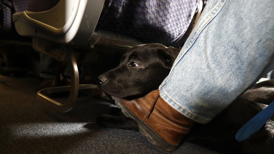 A service dog named Orlando rests on the foot of its trainer, John Reddan, while sitting inside a United Airlines plane at Newark Liberty International Airport during a training exercise last year. United Airlines wants to see more paperwork before passengers fly with an emotional support animal. (Julio Cortez/AP)
