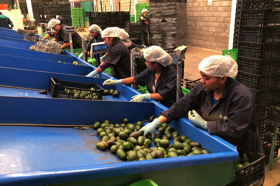 Line workers sort freshly cut avocados at Frutas Finas packing plant in Tancitaro. Forty-five percent of the world's avocados come from Mexico. Eighty percent of avocados consumed in the U.S. come from Mexico, the majority from the small mountain town of Tancitaro. (Carrie Kahn/NPR)