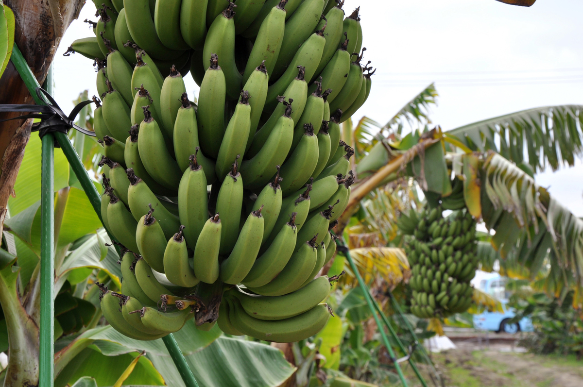 Japanese Mongee Bananas Debuted This Winter Bred To Be Cold Resistant And Pesticide Free Plus You Can Eat The Peel Courtesy Of DT Farm Inc Hide