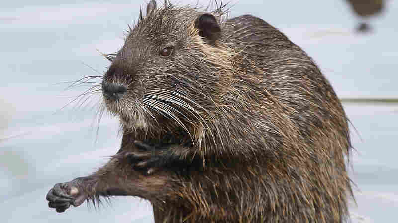 California Officials Set Up Invasive Swamp Rodent Hotline