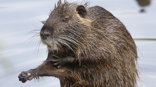 Nutria were believed to have been eradicated in California but the swamp rodent is back. Wildlife officials want the public