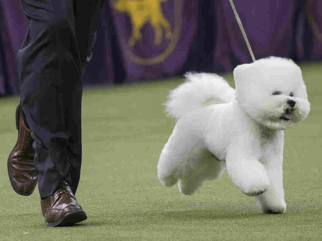 Flynn the bichon frise wins best in show at Westminster