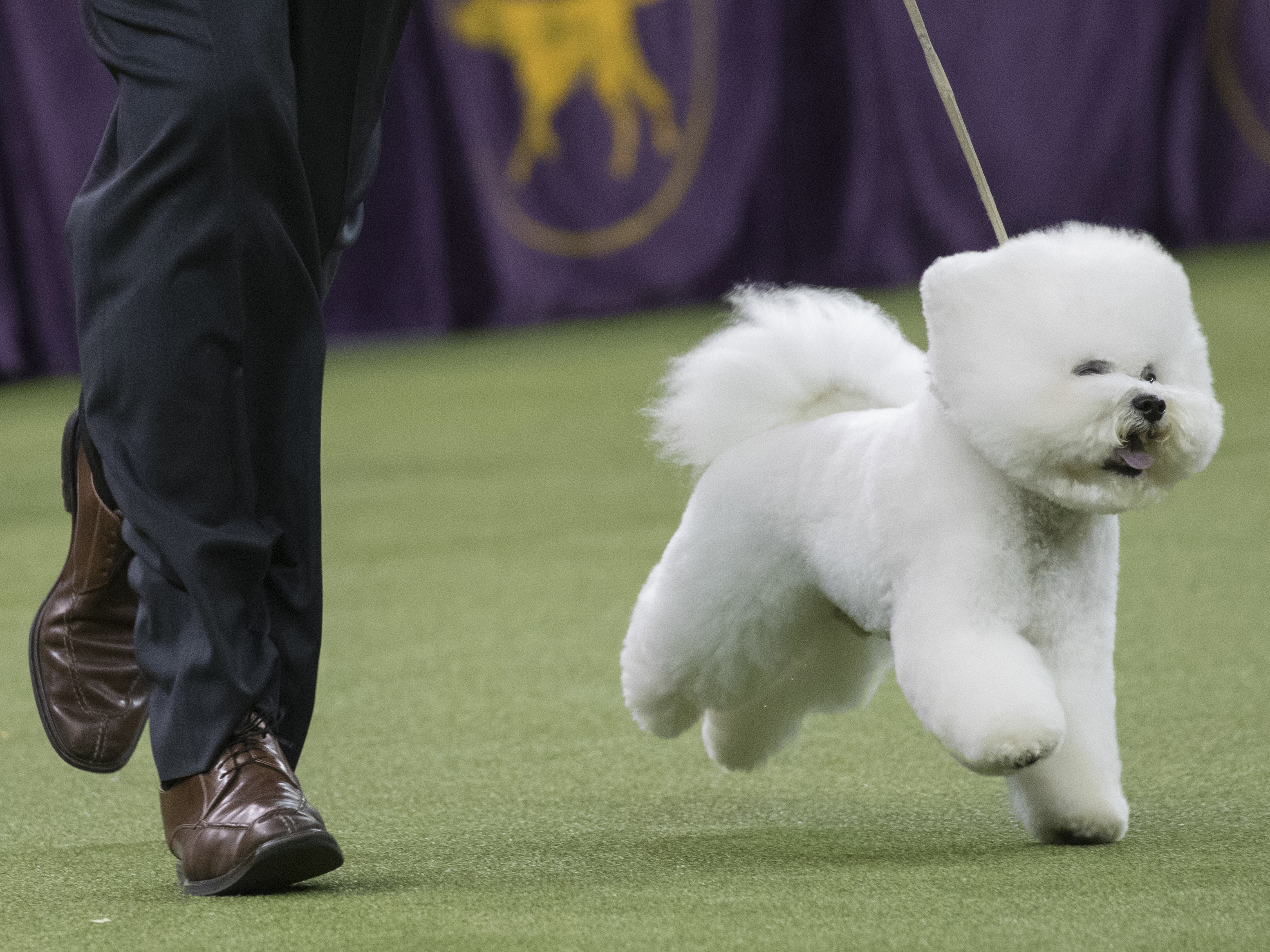 Bichon frise wins best in show at Westminster