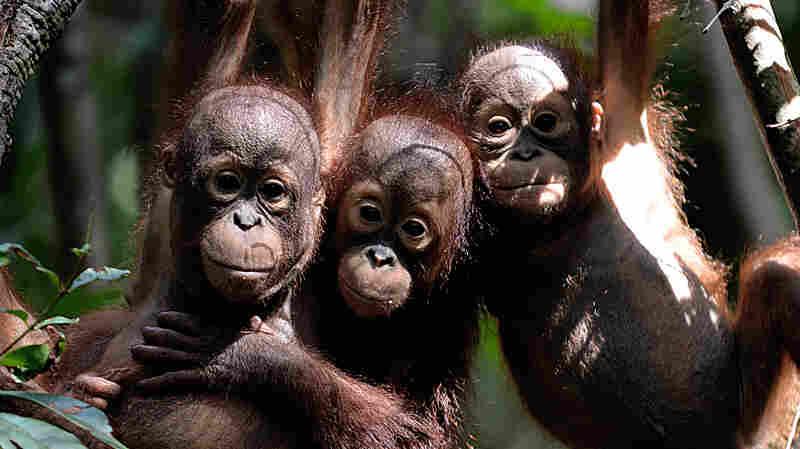 Borneo Has Lost 100,000 Orangutans Since 1999