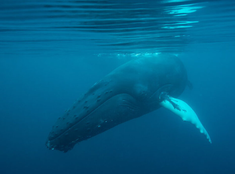 Humpback whales are among the animals that could be affected by seismic surveys for oil and gas. (Barcroft Media/Barcroft Media via Getty Images)