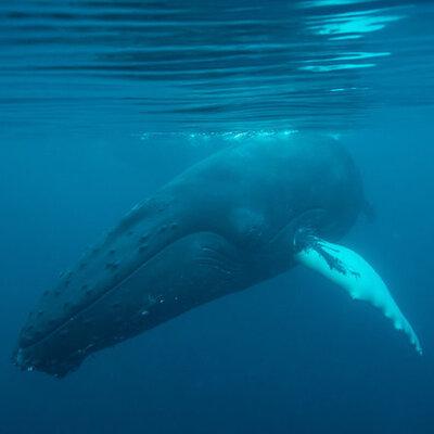 Seismic Surveys Planned Off U.S. Coast Pose Risk To Marine Life