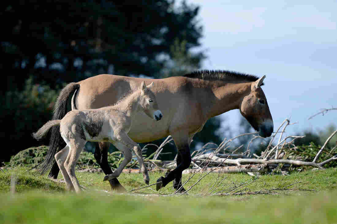 Genetic tests rein in myth of wild horses