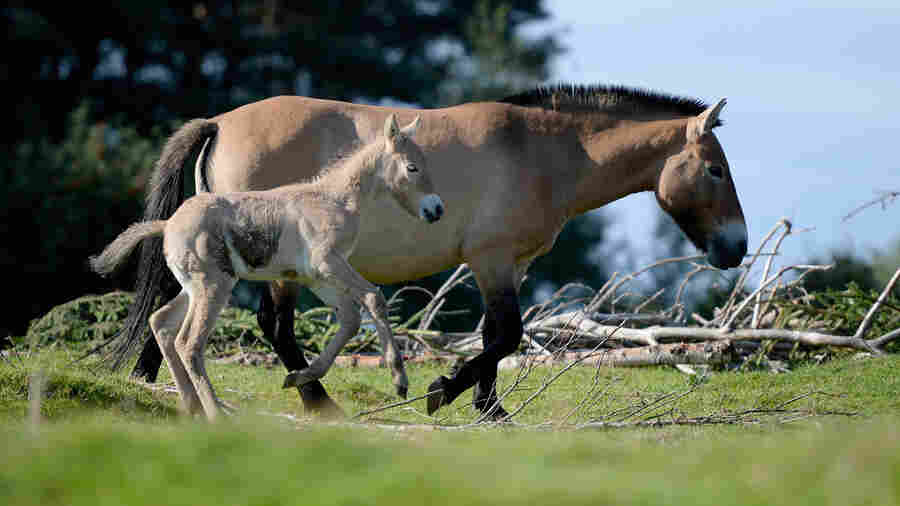 Why The Last 'Wild' Horses Really Aren't