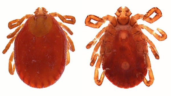 The tick Haemaphysalis longicornis.