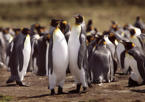 A king penguin colony nests in 2007 at Volunteer Point, Falkland Islands.