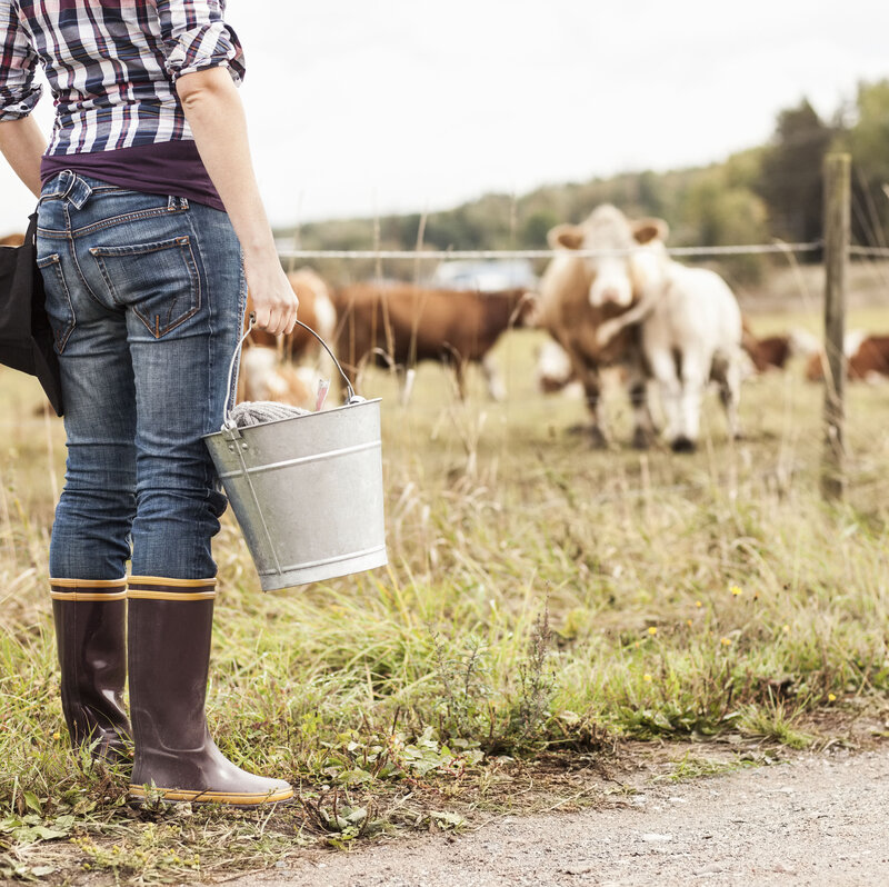 Surf And Turf: To Reduce Gas Emissions From Cows, Scientists