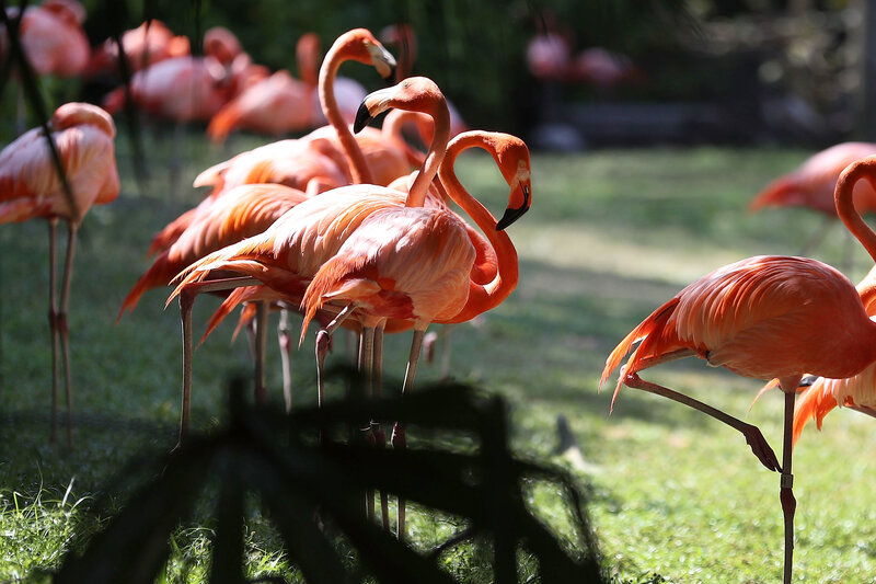 Florida's Long-Lost Wild Flamingos Were Hiding In Plain