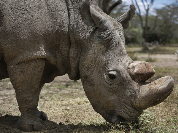 Sudan, the world's last male northern white rhino, grazes at the Ol Pejeta Conservancy in Kenya in May 2017. The 45-year-old rhino's health started deteriorating in late February.