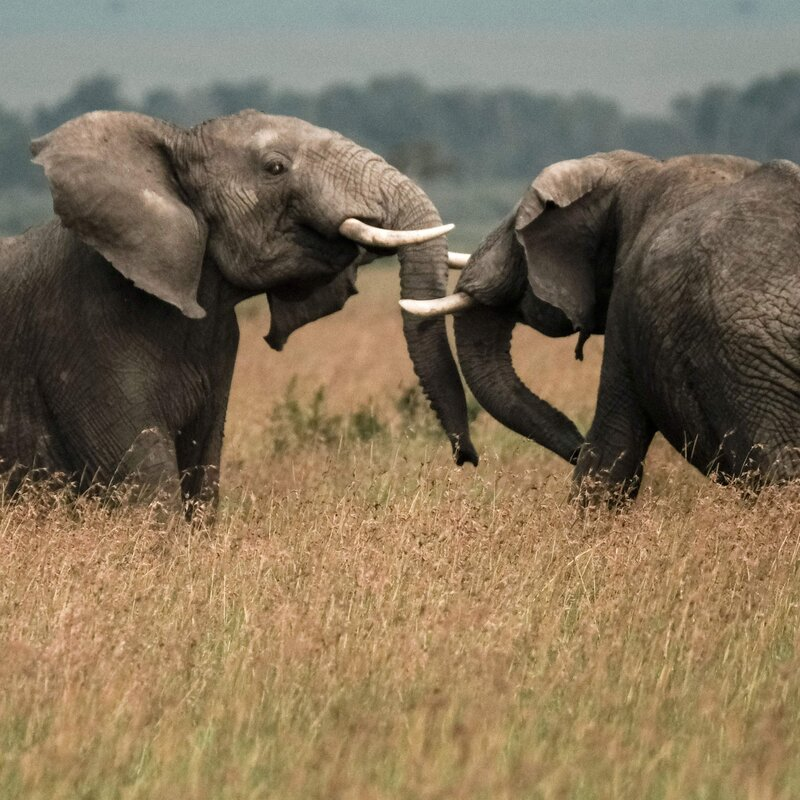 diamond company plans to move 200 elephants from south africa to