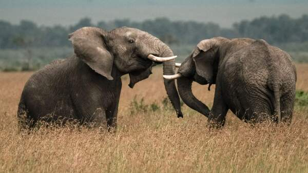 Two elephants play in a field in southern Kenya earlier this year.