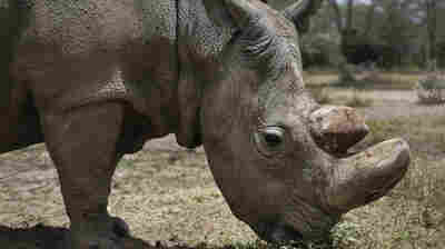 Sudan, World's Last Male Northern White Rhino, Dies